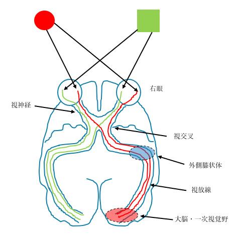 視覚と大脳の働き